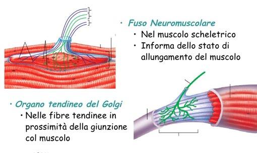 fusi neuromuscolari organo tendieno del golgi flessibilità yoga