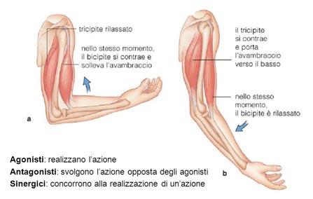 muscoli sinergici allungamento muscolare yoga