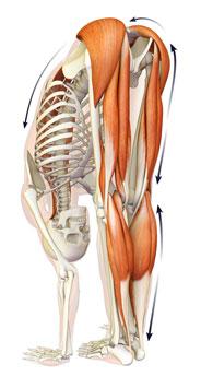 anatomia-piegamento-in-avanti-in-piedi