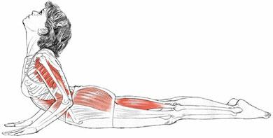 bhujangasana anatomia posizione yoga cobra