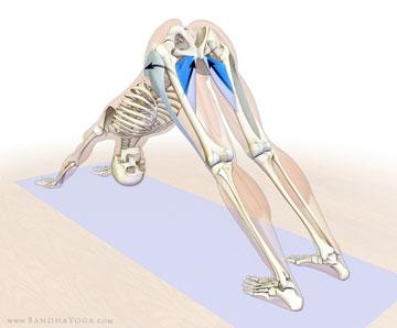 anatomia posizione yoga del cane in giu