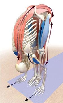 anatomia padahastasana
