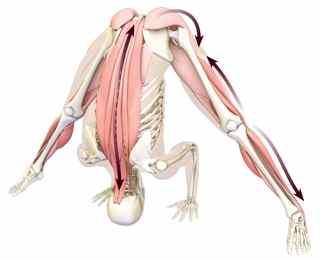 posizione yoga ( asana) prasarita padottanasana