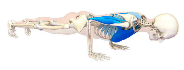 anatomia chaturanga dandasana