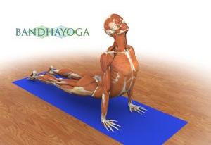 posizione yoga cane a testa in sù anatomia