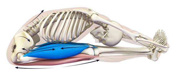 anatomia delle gambe