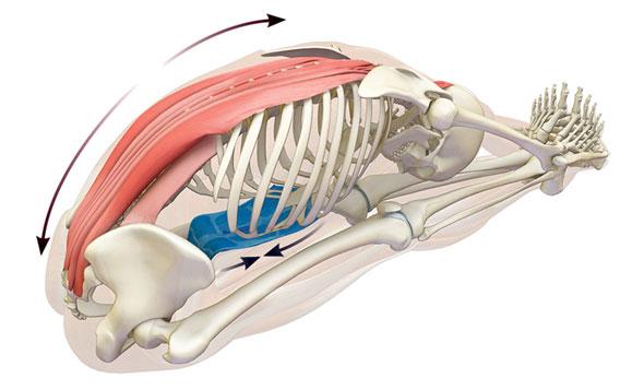 paschimottanasana anatomia
