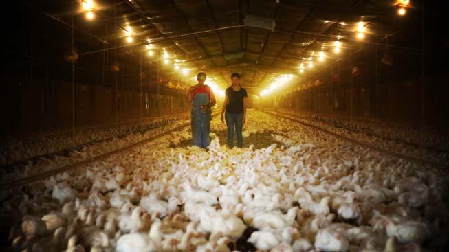 allevamenti intensivi polli