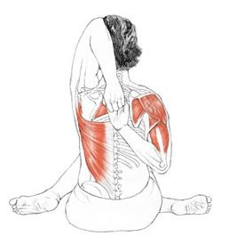 gomukhasana anatomia posteriore