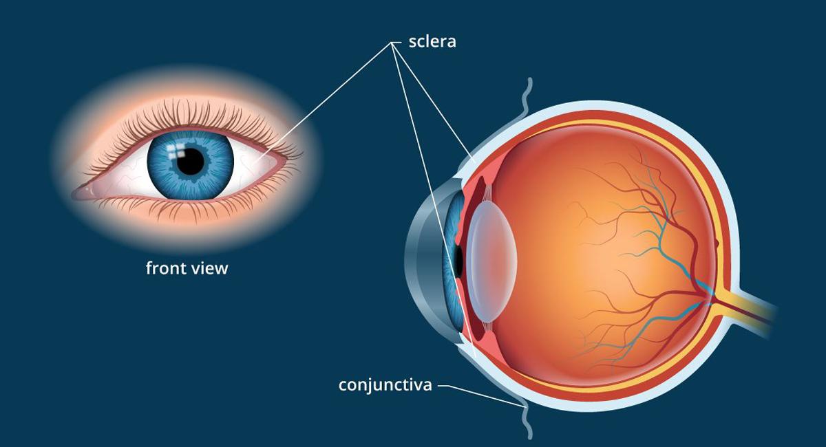 Anatomia occhi